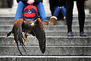 © Licensed to London News Pictures. 13/03/2012. London, UK. Tourists watch as Lizzie flies low across the square. Wayne Parsons flies Lizzie, aged 3, the American Harris Hawk in London's Trafalgar Square today. Wayne and Lizzie are employed by the Greater London Authority to control the pigeon population in the famous square. Lizzie was reared from birth by Wayne but not 'imprinted', meaning she retains her natural ability to hunt. Lizzie only catches 5 or 6 pigeons a year as the very site of her scares them away.  Photo credit : Stephen SImpson/LNP