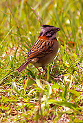 Rufous-collard Sparrow, zonotrichia capensis, Cloud Forest, Monteverde, Costa Rica