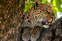 Leopard in a tree, Kwando Concession, Linyanti Marshes, Botswana.