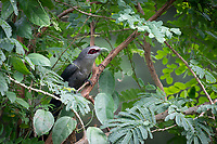 The green-billed malkoha (Phaenicophaeus tristis) is a species of non-parasitic cuckoo found throughout Indian Subcontinent and Southeast Asia. The birds are waxy bluish black with a long graduated tail with white tips to the tail feathers. The bill is prominent and curved. These birds are found in dry scrub and thin forests.