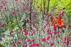 Lychnis coronaria (rose campion) with Lilium 'Fire King', Rhodochiton atrosanguineus and Tanacetum vulgare 'Isla Gold'