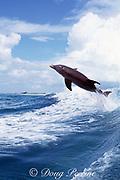 JoJo, a wild sociable bottlenose dolphin, Tursiops truncatus, jumping in a boat wake, Turks and Caicos ( Western Atlantic Ocean )