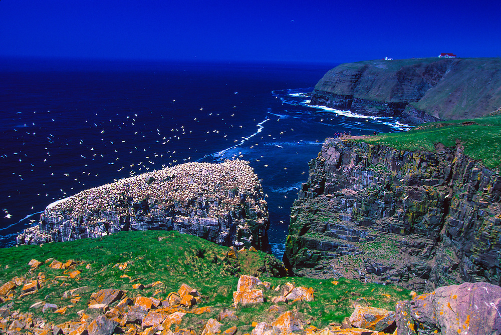 Northern gannets at Cape St. Mary's Ecological Reserve,.Avalon Peninsula, Newfoundland, Canada