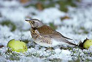 Fieldfare Turdus pilaris L 24-26cm. A large and plump thrush. Associates with Redwing in winter flocks. Sexes are similar. Adult has blue-grey head, chestnut back and pale supercilium. Breast and flanks are flushed orange-yellow and heavily spotted; underparts are otherwise whitish. In flight, note pale grey rump and white underwings. Juvenile is similar but note pale spots on wing coverts. Voice Utters a harsh chack-chack-chack call; night-migrating flocks sometimes be detected by these calls. Song (seldom heard here) comprises short bursts of fluty phrases. Status Common winter to farmland and open country. A few pairs breed each year, mainly in N.