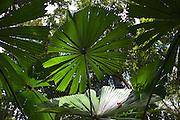 Fan Palms in the Daintree Rainforest, Queensland, Australia