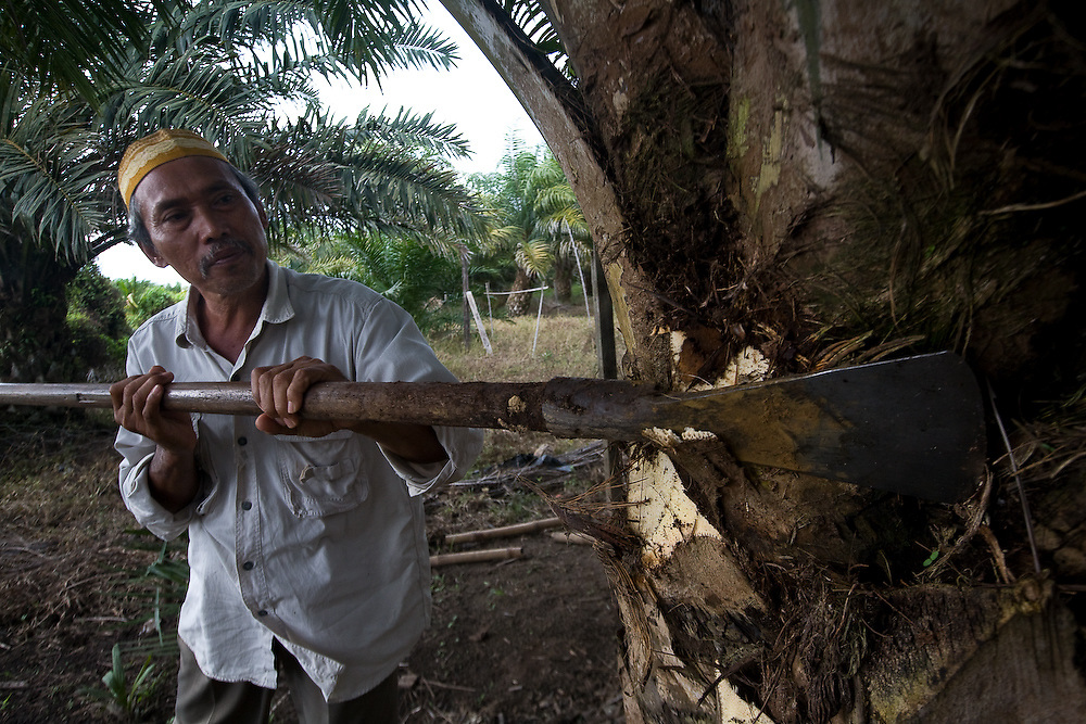 Cotmee Village near Meulaboh - Aceh, Indonesia  Nov. 2008. (Heifer Participant) Supardi cleans a tree in his small palm oil plantation by cutting off dying leaves. The price of palm oil has plummeted so fast that it is almost not worth harvesting the oil rich seeds.