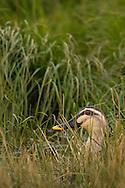 Spot-billed duck (Anas poecilorhyncha), Poyang Ho Lake, Jiangxi province, China
