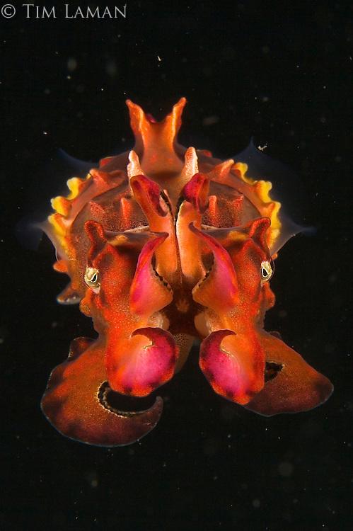 A close-up of a Flamboyant Cuttlefish (Metasepia pfefferi).