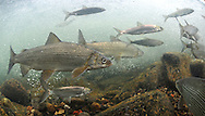 Lake Whitefish with Cisco<br />