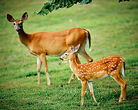 Fawn & Doe. Image taken with a Fuji X-T3 camera and 200 mm f/2 OIS lens (ISO 320, 200 mm, f/2.2, 1/340 sec).