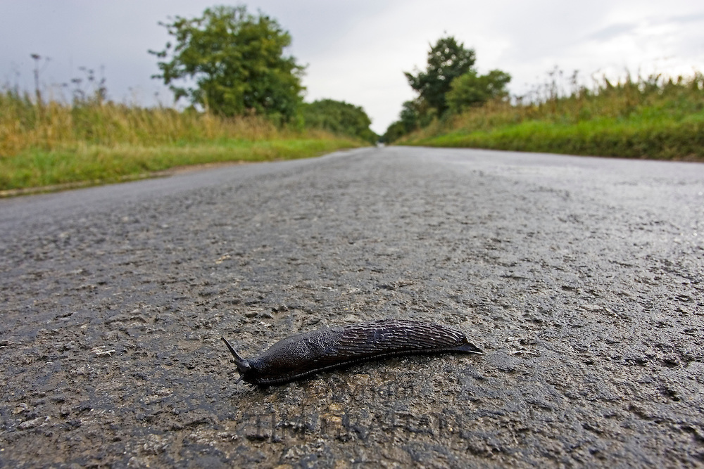 Slug crossing the road, Oxfordshire, United Kingdom RESERVED USE - NOT FOR DOWNLOAD -  FOR USE CONTACT TIM GRAHAM