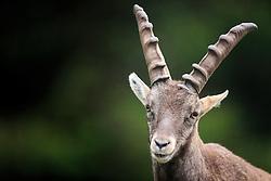 THEMENBILD - ein Alpensteinbock auf einer Wiese im Herbst, aufgenommen am 17. Oktober 2015, Wildpark, Ferleiten, Österreich // an Alpine Ibex on a lawn in autumn, Wildlife Park, Ferleiten, Austria on 2015/10/17. EXPA Pictures © 2015, PhotoCredit: EXPA/ JFK