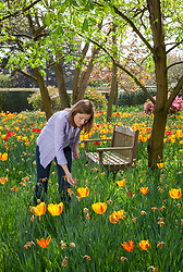 Deadheading daffodils amongst a naturalised patch of tulips after they have finished flowering