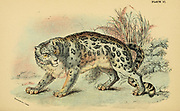 The snow leopard (Panthera uncia Here As Felis uncia), also known as the ounce, is a felid in the genus Panthera native to the mountain ranges of Central and South Asia From the book ' A handbook to the carnivora : part 1 : cats, civets, and mongooses ' by Richard Lydekker, 1849-1915 Published in 1896 in London by E. Lloyd