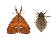 72.017 (2026)<br /> Vapourer - Orgyia antiqua<br /> left=male<br /> right=female