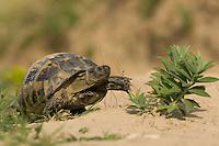 Spur-thighed Tortoise, Testudo graeca, maurische Landschildkröte, near Nikopol, Bulgaria