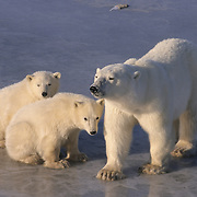 Polar Bear (Ursus maritimus) mother and cubs. Churchill, Manitoba, Canada