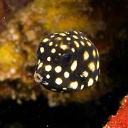 Caribbean Boxfish