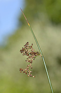 SOFT RUSH Juncus effusus (Juncaceae) Height to 1.5m.<br /> Characteristic perennial of overgrazed grassland, mostly on acid soils. Stems are yellowish green, glossy and smooth. FLOWERS are pale brown and borne in loose or open clusters near the stem tops (Jun-Aug). FRUITS are yellow-brown, egg-shaped, indented at the tip and shorter than sepals. LEAVES are absent. STATUS-Widespread and common.