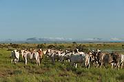 Cattle<br /> Karanambu Ranch<br /> Savannah, Rupununi<br /> GUYANA<br /> South America
