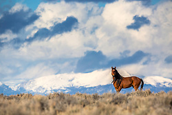 Bay mustang standing tall in the Wyoming desert below the Wind River Mountains near Farson Wyoming