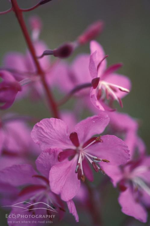 Tok, AK.  Fireweed, Eplilbium angustifolium, helps define Alaska in summertime.