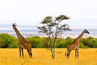 Giraffes, Serengeti National Park, Tanzania