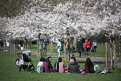 © Licensed to London News Pictures. 29/03/2021. London, UK. A group of women gather to eat, underneath a corridor of Cherry Blossom in Battersea Park, south London, on the day that some lockdown restrictions are eased. Photo credit: Ben Cawthra/LNP