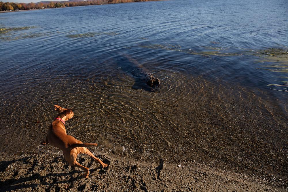 young Vizsla barking at log in a lake