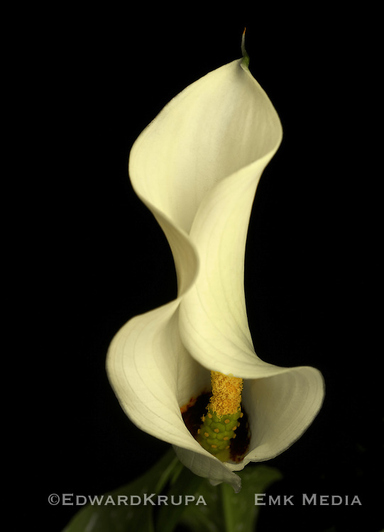 Calla Lilly Inflorescence and spathe.m