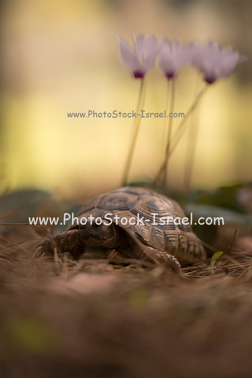 Spur-thighed Tortoise or Greek Tortoise (Testudo graeca) in a field. with Persian Violets in the background. Photographed in Israel in February