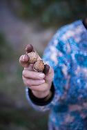 A woman holds two freshly harvested walnuts in a grove in Shatin, Armenia