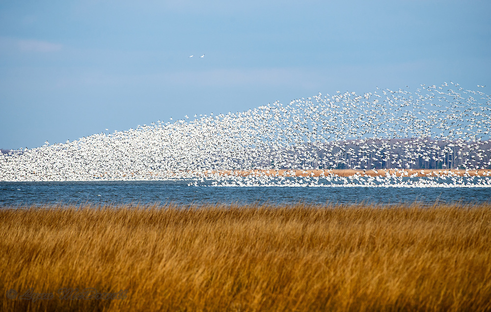 Beautiful shape of Snow Geese flock rising from the winter marsh at Bombay Hook NWR