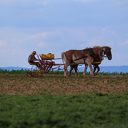 Ronks, PA / USA - June 27, 2017: An Amish farmer in Lancaster County tends to plants in a field using horses to pull his sprayer.