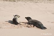 Hawaiian monk seals, Monachus schauinslandi, Critically Endangered endemic species, west end of Molokai, Hawaii ( Central Pacific Ocean )