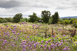 General view of the cut flower borders at Juliet Glaves' garden. Verbena bonariensis in the foreground