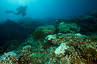 Hard corals with early stages of coral bleaching<br /><br />Contreras Islands<br />Coiba National Park, Panama<br />Tropical Eastern Pacific Ocean<br /><br />Baja Uva dive site