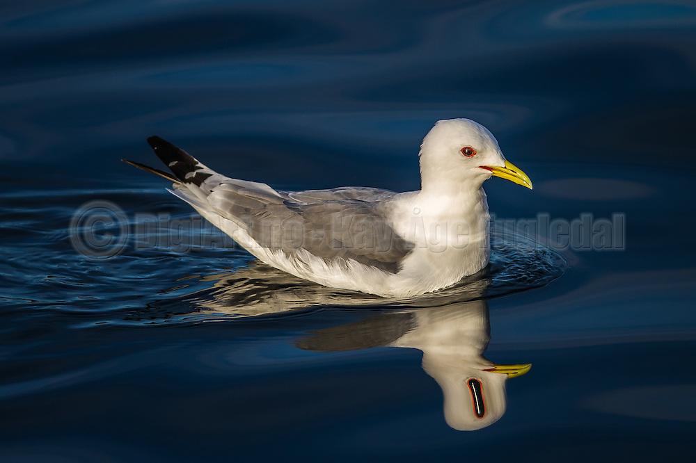 Seagull with a  spooky reflection   Måke med et noe bisarr speilbilde