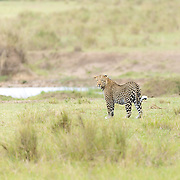 """A leopard in Kenya, off in the distance. It was a treat to see this beauty while on safari in the Mara Triangle.<br /> <br /> For all details about sizes, paper and pricing starting at $85, click """"Add to Cart"""" below."""