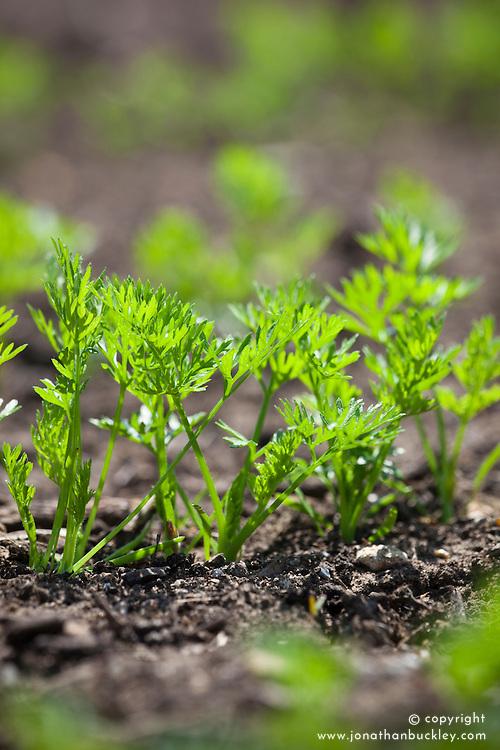 Emerging foliage of Carrot 'Yellowstone' seedlings