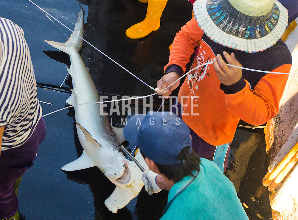 A scalloped hammerhead shark ( Sphyrne lewini ) is thrown overboard from a Taiwanese longliner, Sing Man Yi,  No 6, in the Pacific ocean, 23th August 2015.  The Rainbow Warrior travels to Pacific to expose out of control tuna fisheries. Tuna fishing has been linked to shark finning, overfishing and human rights abuses. Photo: Paul Hilton / Greenpeace Over 100 million sharks are killed each year for the fin trade. Hong Kong, Singapore and China are the biggest consumers of shark fin globally. Indonesia is the biggest exported of shark fins annually. Photo: Paul Hilton for Earth Tree Images