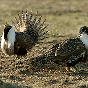 Sage Grouse (Centrocercus urophasianus) Males in courting display trying to compete for the females. Charles M. Russell National Wildlife Refuge. Montana.