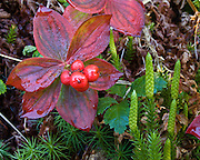 Bunchberry (Cornus canadensis, or Dwarf Dogwood, Dwarf Cornel, or Crackerberry) foliage turns red and produces edible red berries in early September in Denali State Park, Alaska, USA.