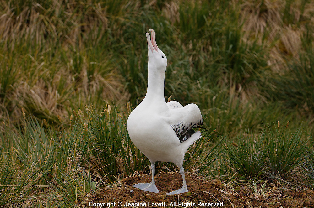 wondering albatross lifts head and calls to mate flying by.
