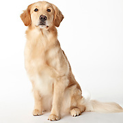 20110425 Labs/Goldens