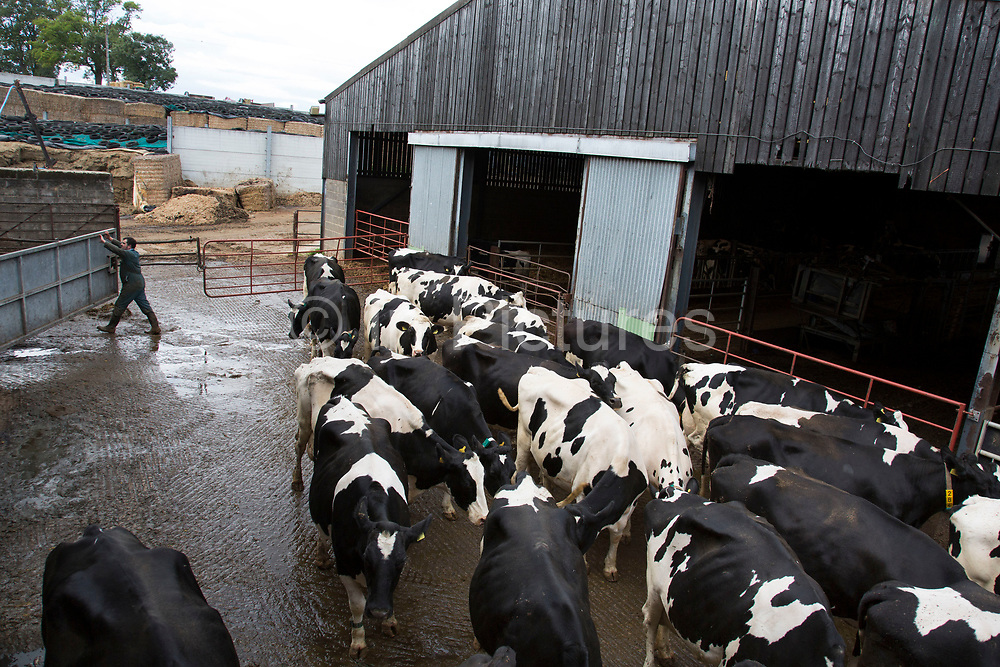 James Clark rounding up the herd at milking time and bringing them towards the milk parlour. The cows are brought in to individual stalls, their teats are disinfected, and wiped before the milking apparatus is attached. After each cow the apparatus is cleaned and rinsed; as are the stalls. All of this ensures the ultimate cleanliness in the end product, which is tested daily to ensure top quality. Wildon Grange Dairy Farm, Coxwold, North Yorkshire, UK. Owned and run by the Banks family, dairy farming here is a scientific business, where nothing is left to chance. From the breeding, nutrition and health of their closed stock of Holstein Friesian cows, through to the end product, the team here work tirelessly, around to clock to ensure content and healthy animals, and excellent quality milk. (photo by Mike Kemp/In Pictures via Getty Images)