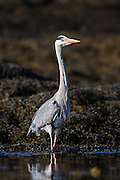 Posing Gray Heron | Gråhegre som poserer