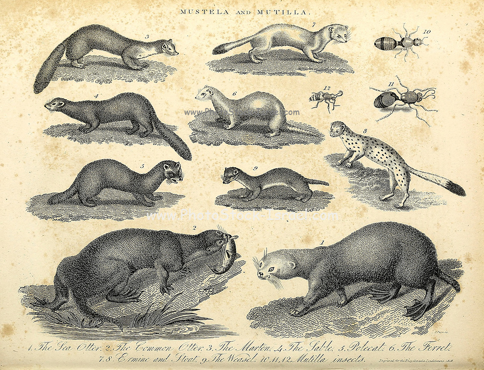 Mustela (Weasels) and Mutilla (parasitoid wasps) Copperplate engraving From the Encyclopaedia Londinensis or, Universal dictionary of arts, sciences, and literature; Volume XVI;  Edited by Wilkes, John. Published in London in 1819