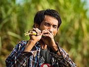 24 JANUARY 2017 - PHRA THAEN, KANCHANABURI, THAILAND:  A sugarcane worker eats a piece of sugarcane in a cane field in Phra Thaen. Thai government  officials recently announced that they plan to float sugar prices later this year or early in 2018. Wholesale prices are currently set by the Cane and Sugar Board, a part of the Industry Ministry, while the Commerce Ministry sets the retail price. Thailand has fixed retail prices of sugar to guarantee a profit for farmers. Thailand is the world's leading exporter of sugar, after Brazil. Thai sugar production is expected to drop by more than three percent because of the lingering drought that crippled agriculture through 2015 and 2016.   PHOTO BY JACK KURTZ