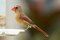 Female Northern Cardinal feeding from feeder Wellington Florida USA